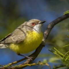Gerygone olivacea (White-throated Gerygone) at Forde, ACT - 18 Sep 2021 by trevsci