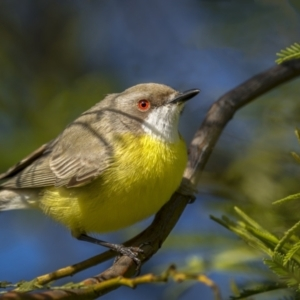 Gerygone olivacea (White-throated Gerygone) at Forde, ACT by trevsci