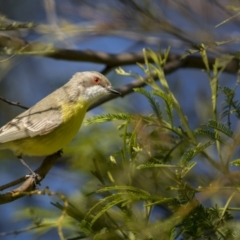 Gerygone olivacea at Forde, ACT - 19 Sep 2021