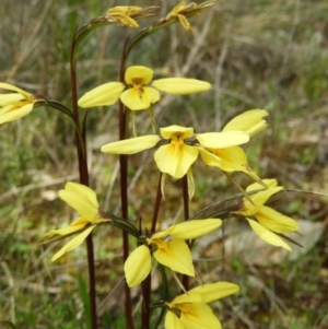 Diuris chryseopsis (Golden Moth) at Kambah, ACT by MatthewFrawley