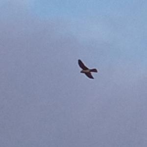 Falco cenchroides (Nankeen Kestrel) at Kambah, ACT by michaelb