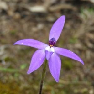Glossodia major (Wax Lip Orchid) at Kambah, ACT by MatthewFrawley