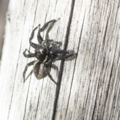 Jotus auripes (Jumping spider) at Bruce, ACT - 22 Jul 2021 by AlisonMilton