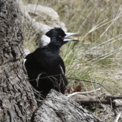 Gymnorhina tibicen (Australian Magpie) at Scullin, ACT - 14 Sep 2021 by AlisonMilton