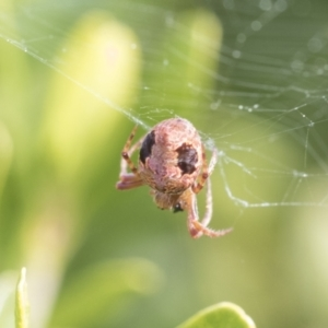 Unidentified Orb-weaving spider (several families) (TBC) at suppressed by AlisonMilton
