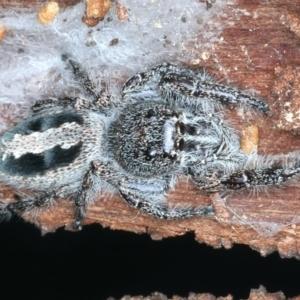 Sandalodes superbus (Ludicra Jumping Spider) at Majura, ACT by jbromilow50