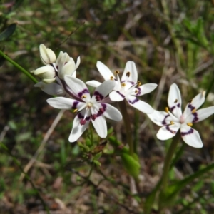 Wurmbea dioica subsp. dioica (Early Nancy) at Kambah, ACT by MatthewFrawley