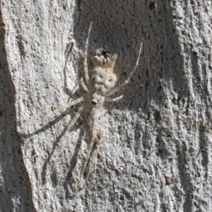 Tamopsis sp. (genus) (Two-tailed spider) at Hawker, ACT by AlisonMilton