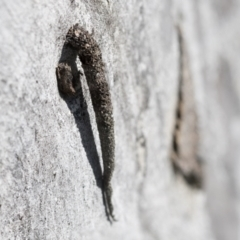 Conoeca guildingi (A case moth) at Hawker, ACT - 1 Sep 2021 by AlisonMilton