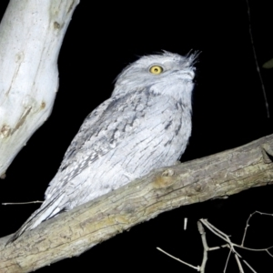 Podargus strigoides (TBC) at suppressed by WingsToWander