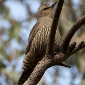 Climacteris affinis (TBC) at suppressed by WingsToWander