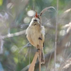 Acrocephalus australis (TBC) at suppressed by WingsToWander