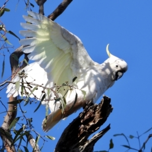 Cacatua galerita (TBC) at suppressed by WingsToWander