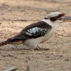 Dacelo novaeguineae (Laughing Kookaburra) at Splitters Creek, NSW - 18 Sep 2021 by WingsToWander