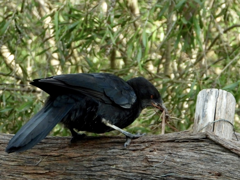 Corcorax melanorhamphos at Splitters Creek, NSW - 19 Sep 2021