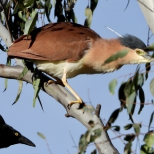 Nycticorax caledonicus (TBC) at suppressed by WingsToWander