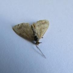 Scopula rubraria (Plantain Moth) at McKellar, ACT - 18 Sep 2021 by Birdy