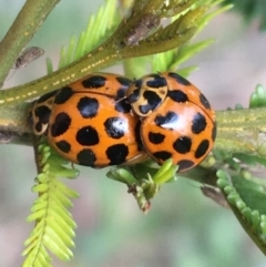 Harmonia conformis (Common Spotted Ladybird) at Bruce, ACT - 13 Sep 2021 by Ned_Johnston