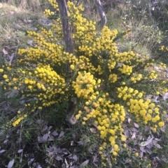 Acacia paradoxa (Kangaroo Thorn) at Majura, ACT - 14 Sep 2021 by Ned_Johnston