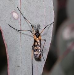 Gynoplistia (Gynoplistia) bella (A crane fly) at Holt, ACT - 20 Sep 2021 by Roger
