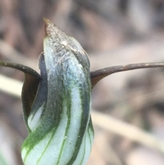 Pterostylis pedunculata (Maroonhood) at Cook, ACT - 17 Sep 2021 by Ned_Johnston