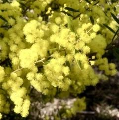 Acacia pycnantha (TBC) at Bruce, ACT - 11 Sep 2021 by goyenjudy