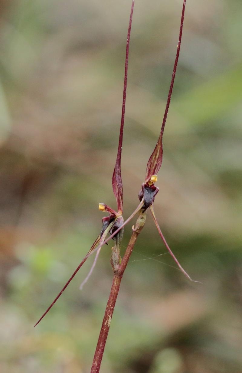 Acianthus caudatus at Woodlands, NSW - 21 Sep 2021