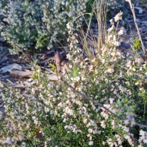 Cryptandra amara (Bitter Cryptandra) at Jerrabomberra, ACT by Mike