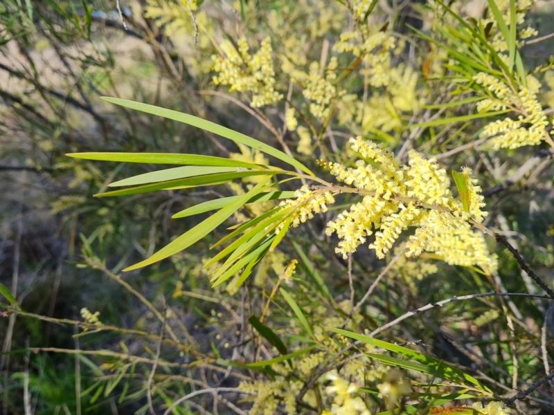 Acacia mucronata subsp. longifolia at suppressed - 21 Sep 2021