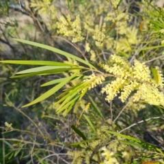 Acacia fimbriata (TBC) at Jerrabomberra, ACT - 21 Sep 2021 by Mike