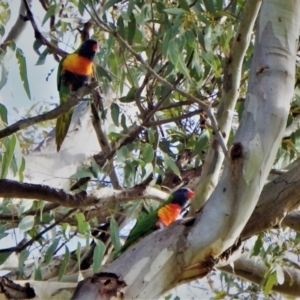 Trichoglossus moluccanus (Rainbow Lorikeet) at Higgins, ACT by RoxanneForrest