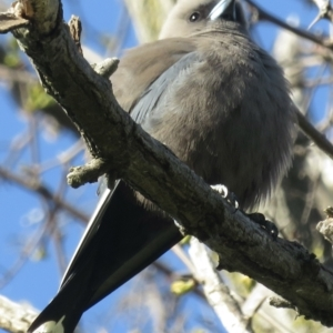 Artamus cyanopterus (Dusky Woodswallow) at Acton, ACT by RobParnell
