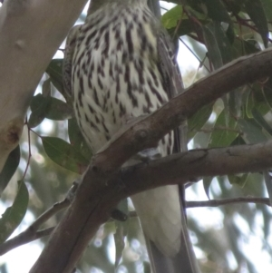 Oriolus sagittatus (Olive-backed Oriole) at Holt, ACT by RobParnell