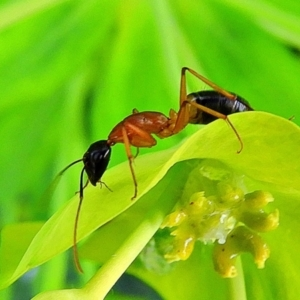 Camponotus consobrinus (Banded sugar ant) at Crooked Corner, NSW by Milly