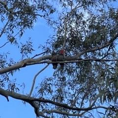 Callocephalon fimbriatum (Gang-gang Cockatoo) at Bruce, ACT - 21 Sep 2021 by JVR
