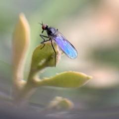 Bibionidae sp. (family) (TBC) at Murrumbateman, NSW - 20 Sep 2021 by SimoneC