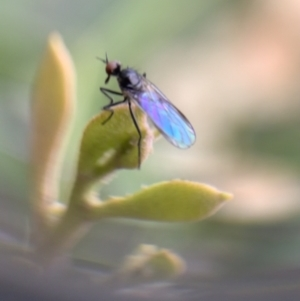 Bibionidae sp. (family) (TBC) at suppressed by SimoneC