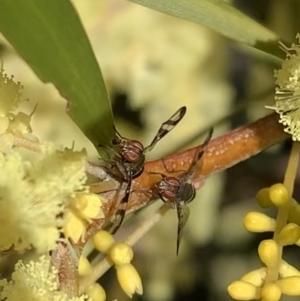 Rivellia sp. (genus) (TBC) at suppressed by SimoneC