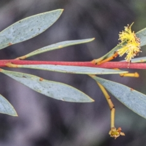 Acacia buxifolia subsp. buxifolia (Box-leaf Wattle) at Acton, ACT by Sarah2019