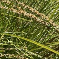 Carex appressa (Tall Sedge) at Yarralumla, ACT - 21 Sep 2021 by JaneR