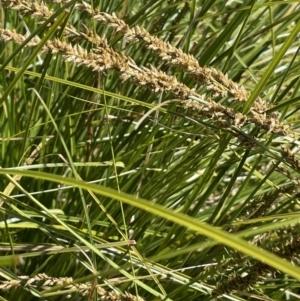 Carex appressa (Tall Sedge) at Yarralumla, ACT by JaneR