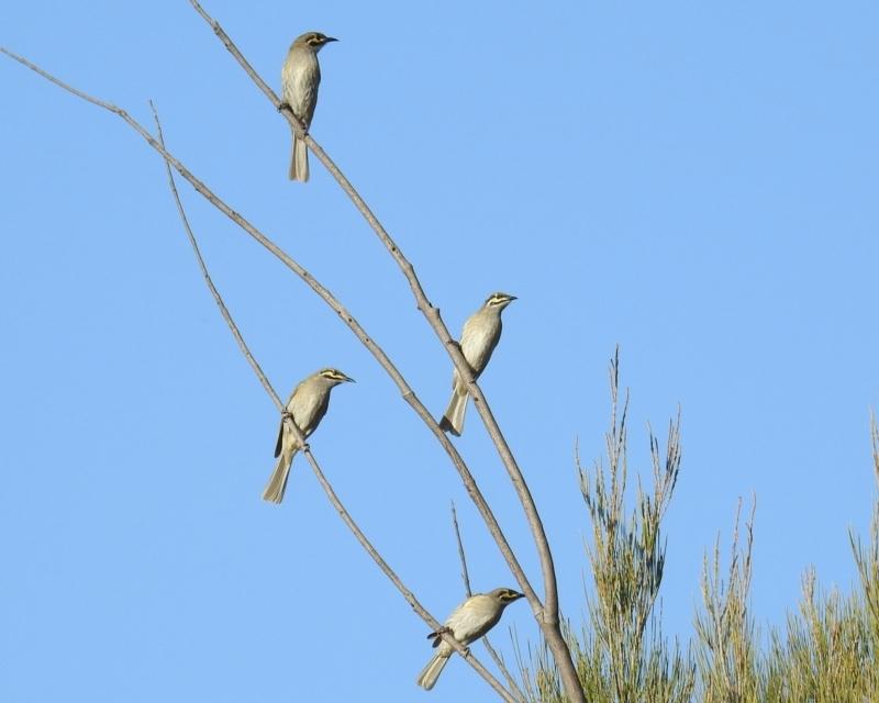 Caligavis chrysops at Kambah, ACT - 21 Sep 2021