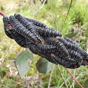 Perga sp. (genus) (Sawfly or Spitfire) at Majura, ACT by Helberth