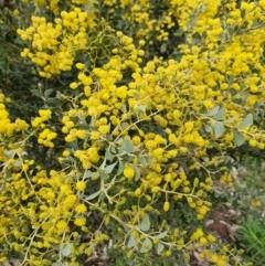 Acacia cultriformis at Majura, ACT - 21 Sep 2021