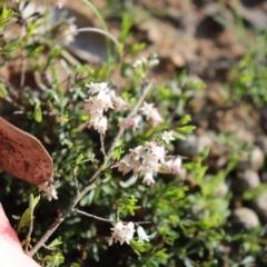 Cryptandra amara at Holt, ACT - 19 Sep 2021
