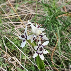 Wurmbea dioica subsp. dioica (Early Nancy) at Majura, ACT by Helberth
