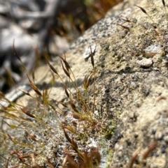 Unidentified Moss / Liverwort / Hornwort (TBC) at Yarralumla, ACT - 21 Sep 2021 by JaneR