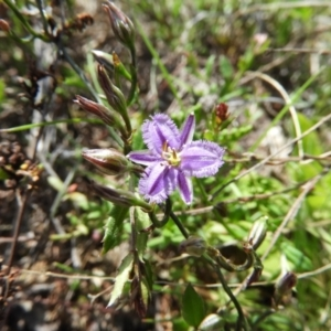 Thysanotus patersonii (Twining Fringe Lily) at Kambah, ACT by MatthewFrawley