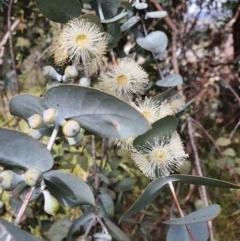 Eucalyptus cinerea (Argyle Apple) at Weston, ACT - 12 Sep 2021 by Helberth