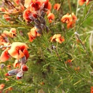 Dillwynia sp. Yetholme (P.C.Jobson 5080) NSW Herbarium at Kambah, ACT by MatthewFrawley